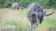 Stock Video Footage of asia buffalo eating grass in country farm of thailand Southeast asia