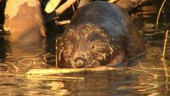 Beaver 9 - stock footage