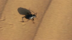 Scarab beetle running in desert Stock Footage