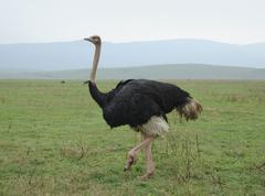 ostrich in natural ambiance - stock photo