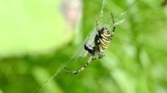 Wasp spider argiope bruennichi spiderweb web move in wind Stock Footage