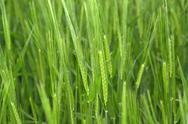 Fresh green grain Stock Photos
