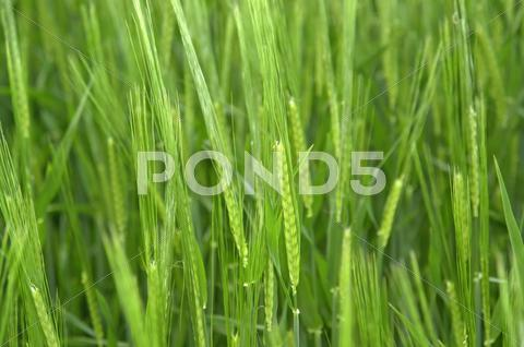 Stock photo of fresh green grain