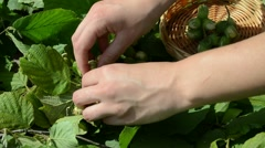 Girl hand gather ripe hazel nutwood nuts wicker wood dish Stock Footage