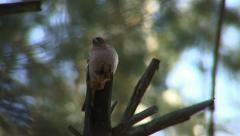 Chaffinch 2 Stock Footage