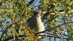 cuckoo 1 - stock footage