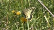 European swallowtail 1 Stock Footage