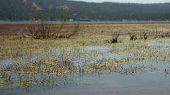 Swamp Grass Moving In Big Bear Lake HD Stock Footage