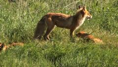 Fox family Stock Footage