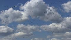 Geese in the sky - stock footage