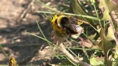 Humblebee Stock Footage