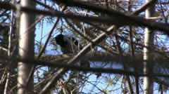 Hooded crow Stock Footage