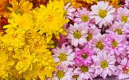 Stock Photo of chrysanthemum  flowers