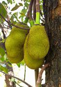jack fruit - stock photo