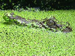 American alligator baby Stock Photos