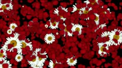 Rose petals daisy shaped wreath wedding Valentine's Day background. Stock Footage
