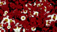 Stock Video Footage of falling rose petals & daisy,wedding background,Valentine's Day.