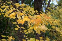 bright yellow autumn leaves  .. - stock photo