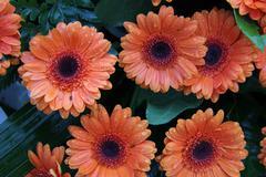 Wet orange gerberas Stock Photos