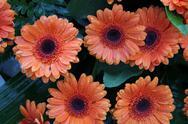 Stock Photo of wet orange gerberas