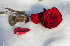 red rose in the snow - stock photo