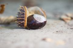 Stock Photo of chestnut tree in nature