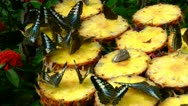 A colony of butterflies feeding on pineapples Stock Footage