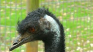 Close-up shot of an Emu's eyes Stock Footage