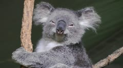 A Koala looking at the viewer lazily and going back to sleep. Medium Shot. Stock Footage