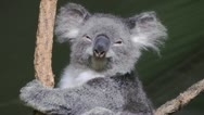 Stock Video Footage of A Koala looking at the viewer lazily and going back to sleep. Medium Shot.