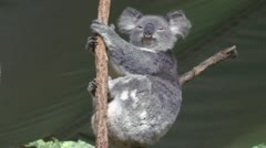 A Koala lazily looking at the viewer Stock Footage