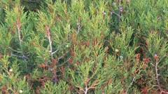 Juniper (Juniperus communis), Female Berry Fruits (Cones) Stock Footage