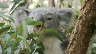 A Koala chewing Eucalyptus leaves Stock Footage