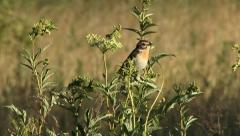 Whinchat Stock Footage