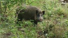 Wild boar in natural habitat (sus scrofa) Stock Footage