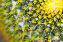 close up of globe shaped cactus with long thorns - stock photo