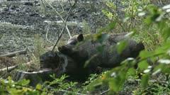 Wild boar in natural habitat (sus scrofa) scrubbing mud. Stock Footage