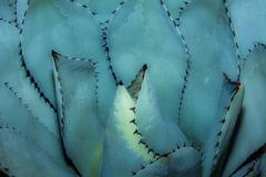 sharp pointed agave plant leaves bunched together. - stock photo