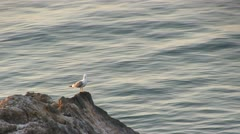 Seagull sitting on a rock Stock Footage