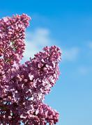 lilac flowers against the blue sky - stock photo