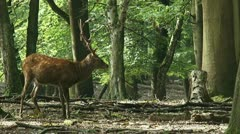Sika deer (Cervus nippon)  stag in forest forages Stock Footage