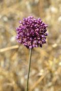 Purple allium plant Stock Photos