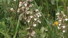 Marsh Helleborine (Epipactis palustris) Stock Footage