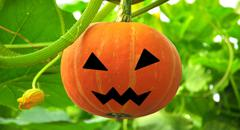 scary jack on pumpkin growing on a pumpkin patch - stock photo