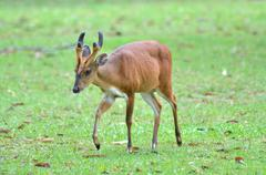 Stock Photo of barking deer in a field of grass