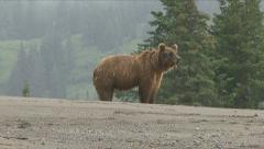 BROWN BEAR HUFF. Stock Footage
