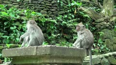 Young Monkeys at a stone wall Stock Footage
