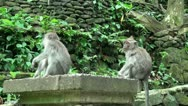 Stock Video Footage of Young Monkeys at a stone wall