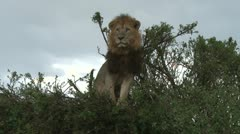 A lion sitting on top of a weak bush Stock Footage