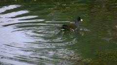 Adult moorhen feeding chicks Stock Footage